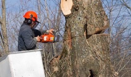 גיזום עצים על ידי אנשים מקצועיים