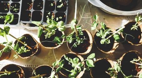 צמחי המרפא שכדאי להחזיק בבית
